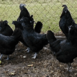 Untapped Information About Ayam Cemani Chicken