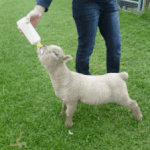 How To Bottle Feed A Lamb like A Pro