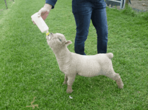 Bottle feed a lamb