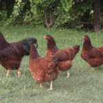 All About Buckeye Chicken Breed