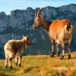 Everything about Alpine Goat