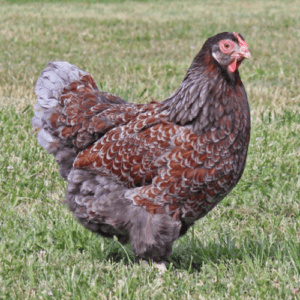 blue laced red wyandotte chicken
