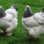 All About Brahma Chicken Breed