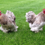 Charming Information About Cochin Chicken