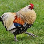 Undeniable Facts About Bantam Chickens Breed