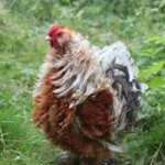 Everything About Frizzle Chicken Breed