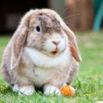 Thrilling Information about American Fuzzy Lop rabbit