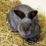 Untapped Information about American Chinchilla Rabbit