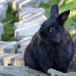 Wonderful Facts and Information about Alaska Rabbit Breed