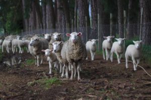sheep farming in usa