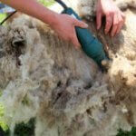 No Bullshit Step by Step Sheep Shearing Guide