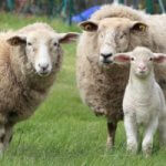 How to Start Sheep Farming in Australia