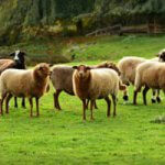 Sheep Farming Guide for Beginners and Experts