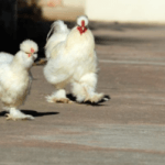 Everything You Need to Know About Silkie Chicken Breed