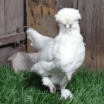 Everything About Sultan Chicken Breeds