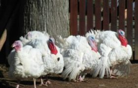 Sensational White Holland Turkey Facts and Information