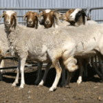 Afrikaner Sheep: Characteristics and Breed Information