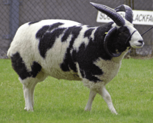 Jacob Sheep Breed