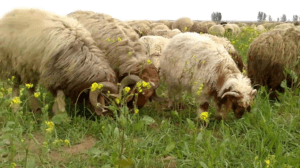 awassi sheep breed