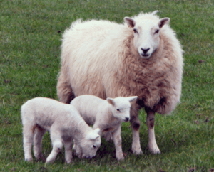difference between lambs and sheep