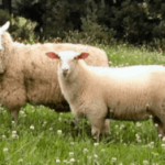 East Friesian Sheep Facts and Breed Information