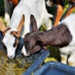 Ammonium Chloride for Goats: Ultimate Benefits