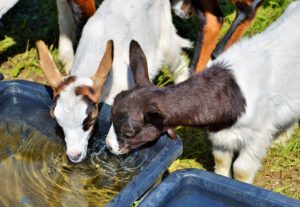 ammonium chloride for goats