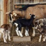 How to Start Goat Farming Business: Ultimate Guide