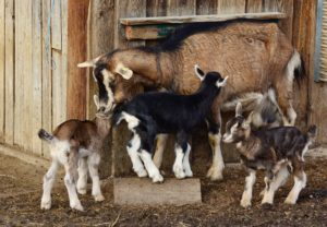 how to start goat farming business