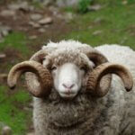 Untapped Information about Arapawa Sheep
