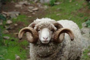arapawa sheep breed