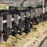 Cattle Feed For Calves, Dairy And Beef Cows