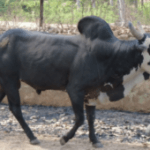 Alambadi Cattle: Origin, Characteristics & Purpose