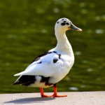 Ancona Duck: Origin, Characteristics & Uses