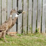 Indian Runner Duck: Origin, Characteristics & Uses