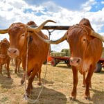 Afrikaner Cattle: Origin, Characteristics & Uses