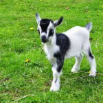 Raising Goats as Pets: Ultimate Cheat Guide