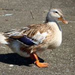 Silver Appleyard Duck: Origin, Characteristics & Uses