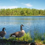 Swedish Blue Duck: Origin, Characteristics, Uses & Pictures