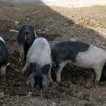 Angeln Saddleback Pig: Origin, Characteristics & Pictures