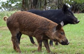 Choctaw Pig: Origin, Characteristics, Uses & Pictures