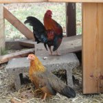American Game Chicken Breed Information