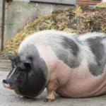 Pot-bellied Pig: Origin, Characteristics, Pets & Care