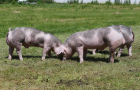 Pig Farming: Step By Step Ultimate Guide