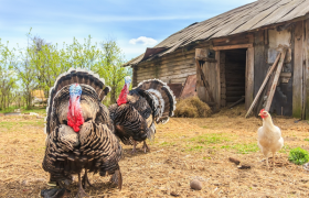 Turkey Farming in India: Step By Step Guide
