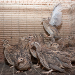 How To Care For Quail Chicks: Ultimate Guide