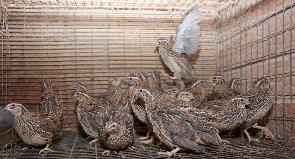 how to care for quail chicks