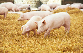 Pig Farming In Kenya: How To Start A Profitable Pig Farming
