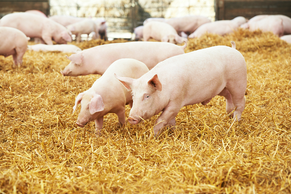 pig farming in kenya