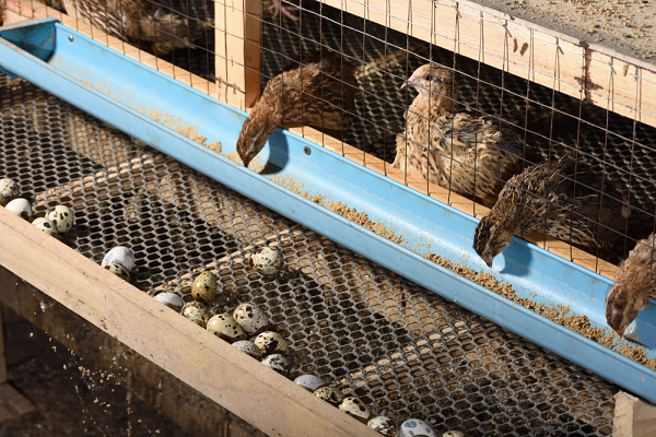 quail farming in India